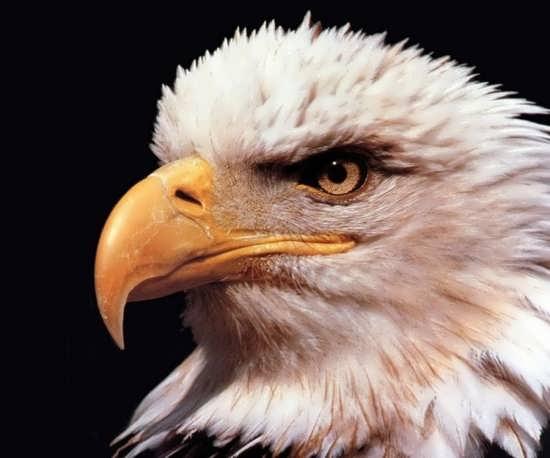 عکس عقاب برای پروفایل انواع شبکه های اجتماعی